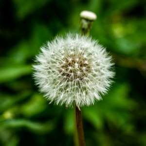Dandalion-seeds