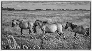 Horses-in-rush