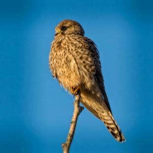 Little tower falcon