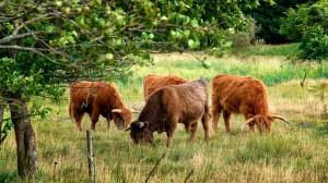 Scottish-Highland-Cattle