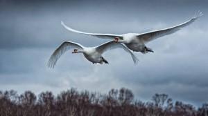Swans on trip